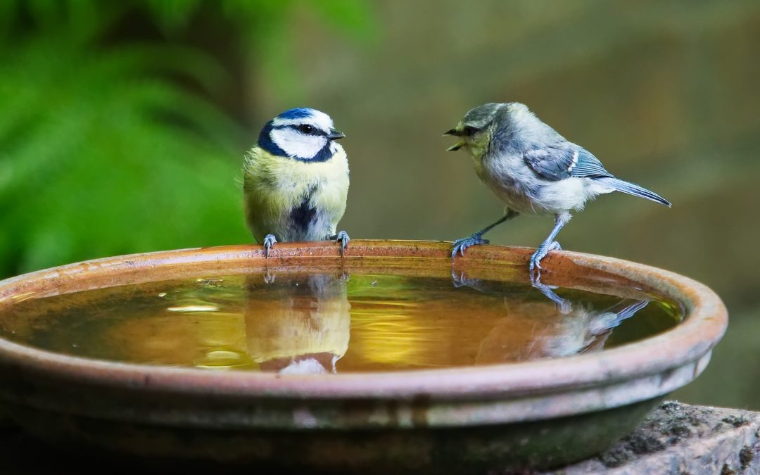 Photo of two blue birds sitting on a water dish